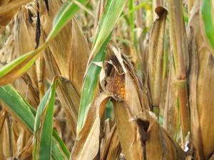 Corn Sugar Health Issues
