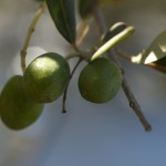 Extra Virgin Olive Oil Growth