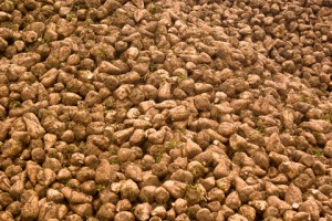Genetically Modified Sugar Beets