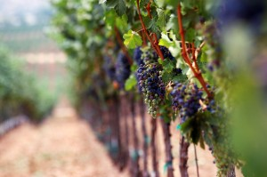 Resveratrol Benefits Questioned